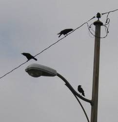 ELB crows