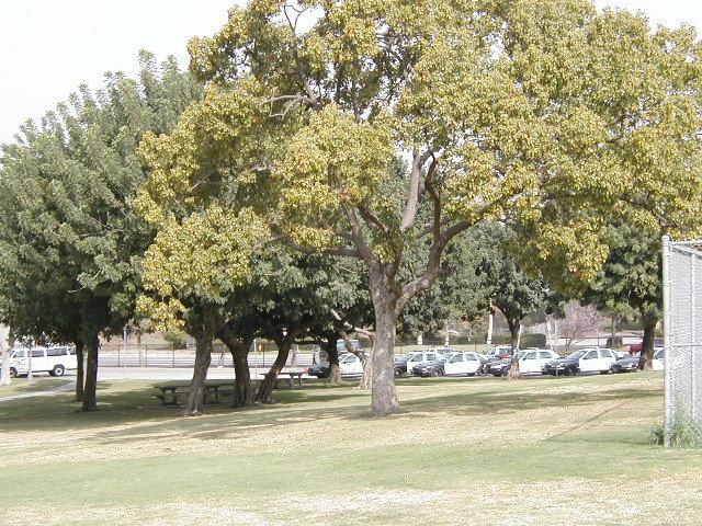 Scherer trees 2